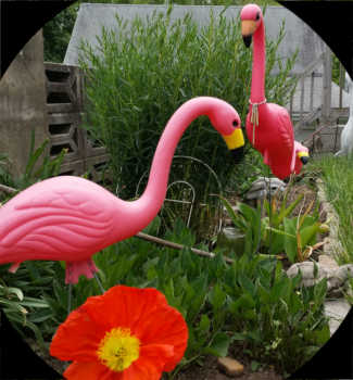 Picture of pink plastic flamingos in a garden
